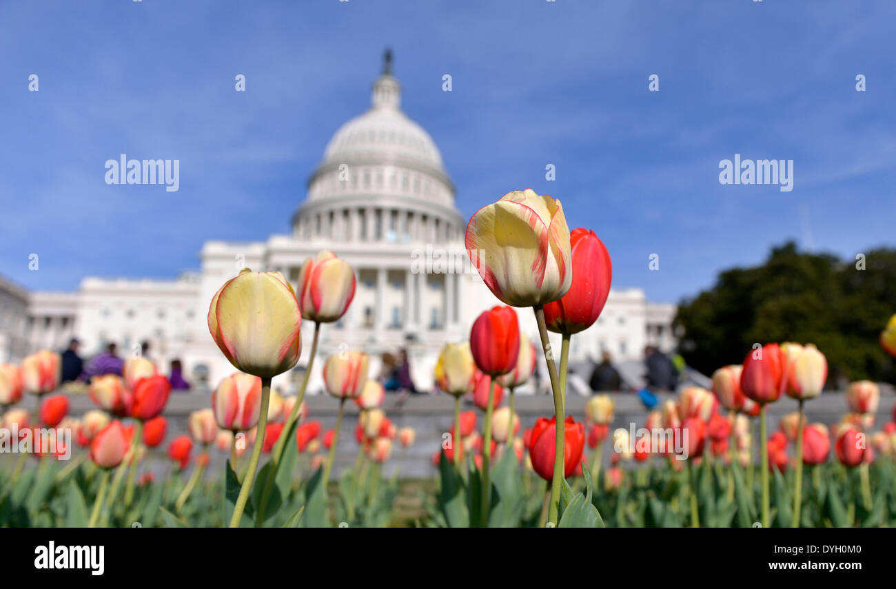 Washington, DC, USA. 17th Apr, 2014. Visitors view tulips in blossom in front of the Capitol building in Washington, Stock Photo