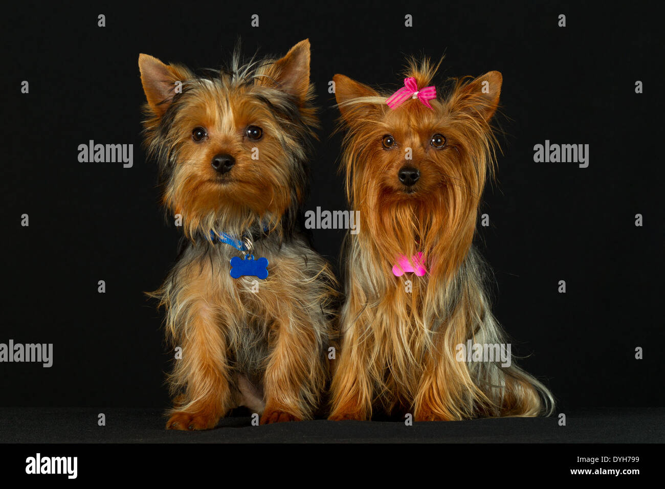 Yorkshire Dog Couple On Their Wedding Day - Stock Image