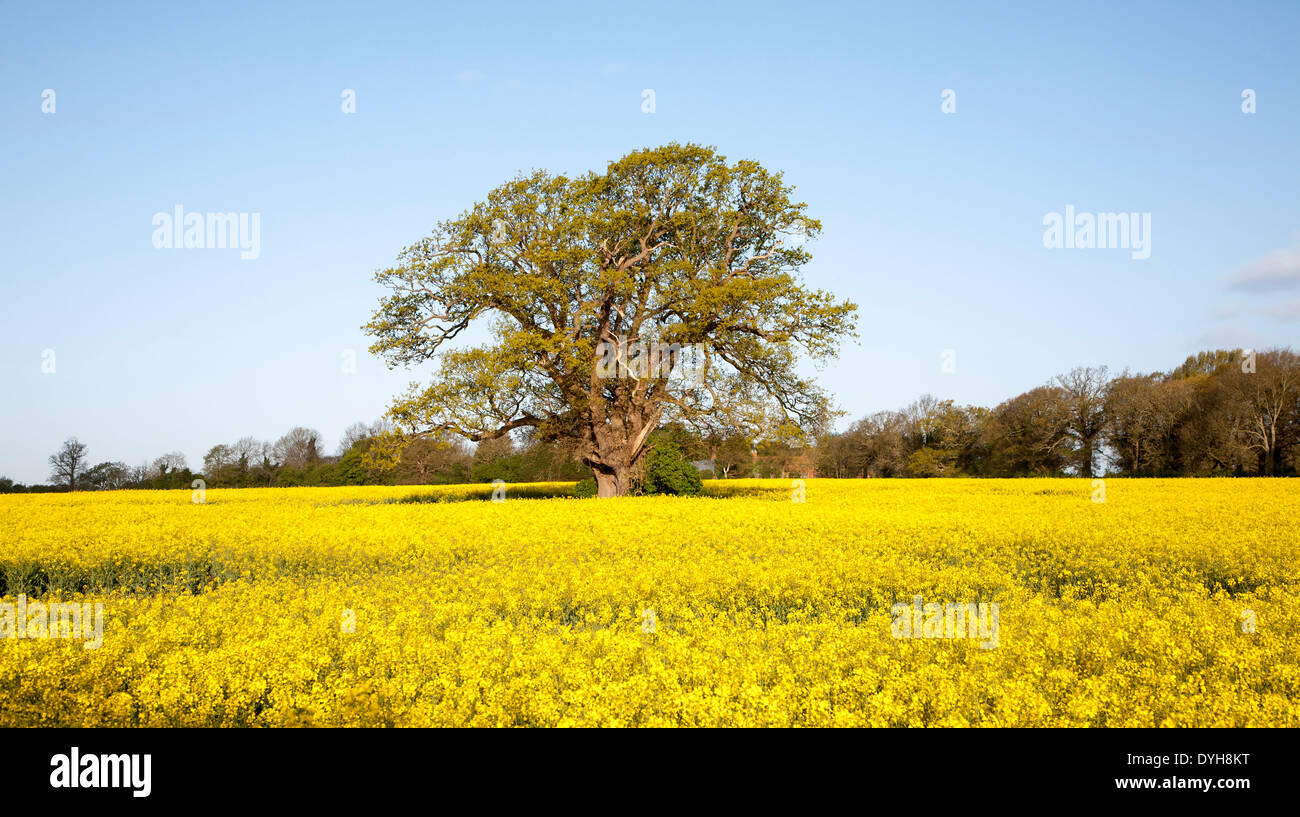 Spring rural landscape with yellow flowers of oil seed rape crop and spring rural landscape with yellow flowers of oil seed rape crop and oak tree in early leaf sutton suffolk england mightylinksfo