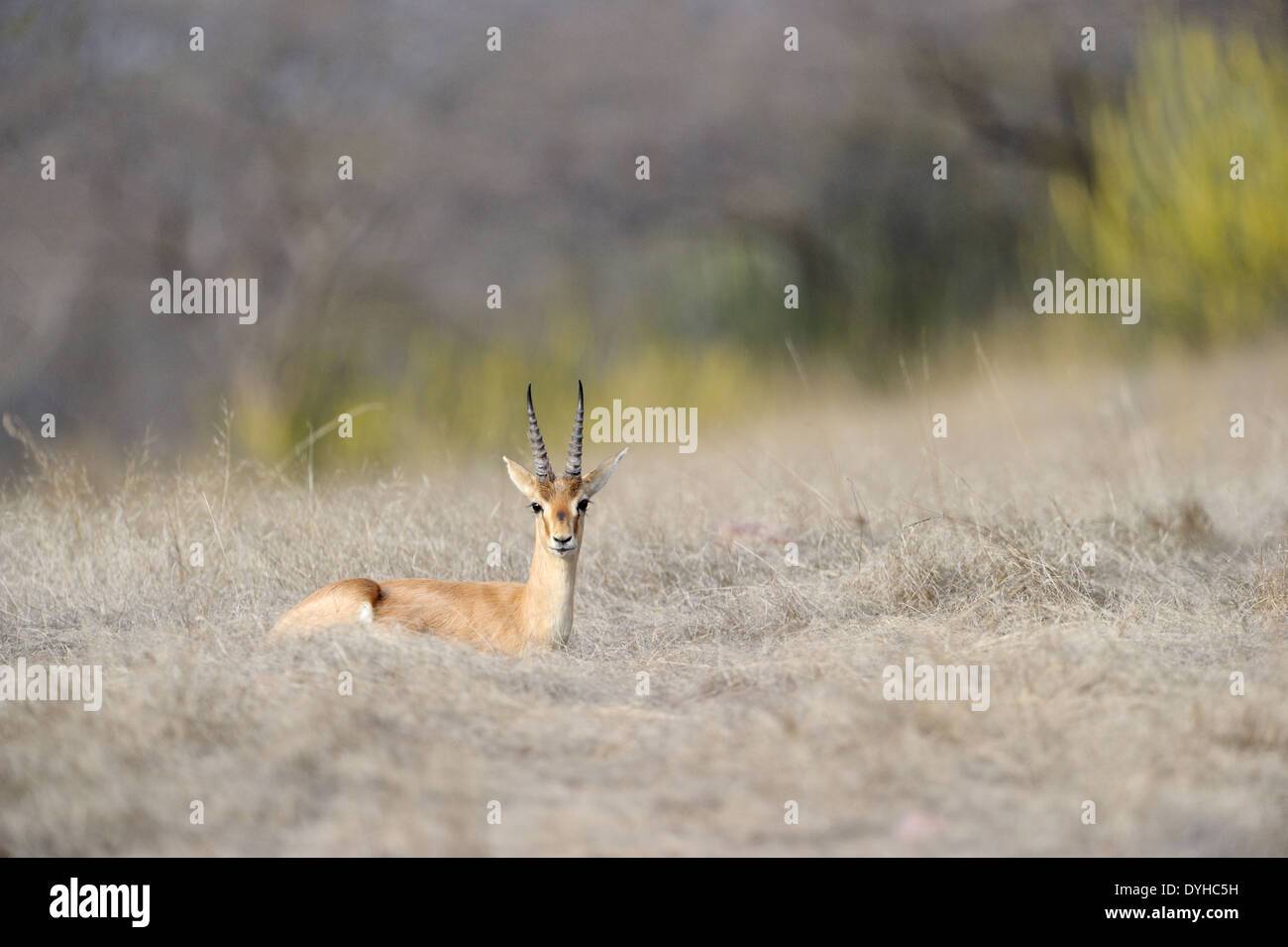 Indian gazelle (Gazella bennettii) lying on savanna. - Stock Image