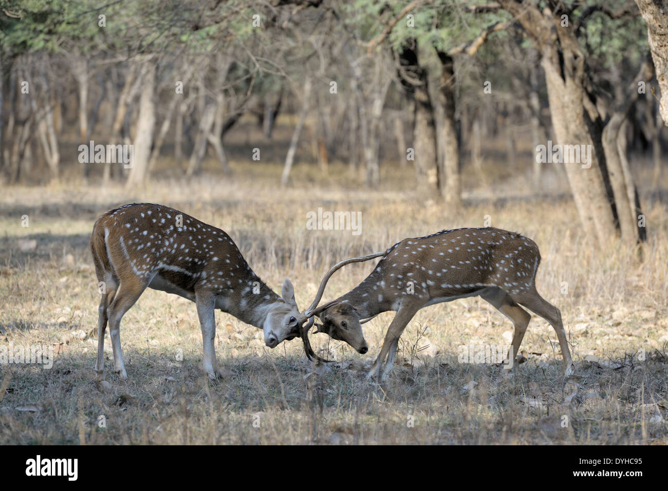 Spotted deer (Axis axis) fighting. - Stock Image