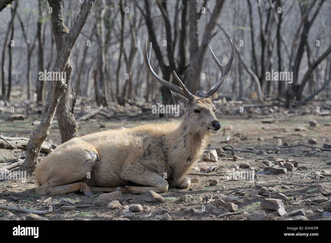 Sambar deer (Rusa unicolor) lying on the ground in the forest. - Stock Image