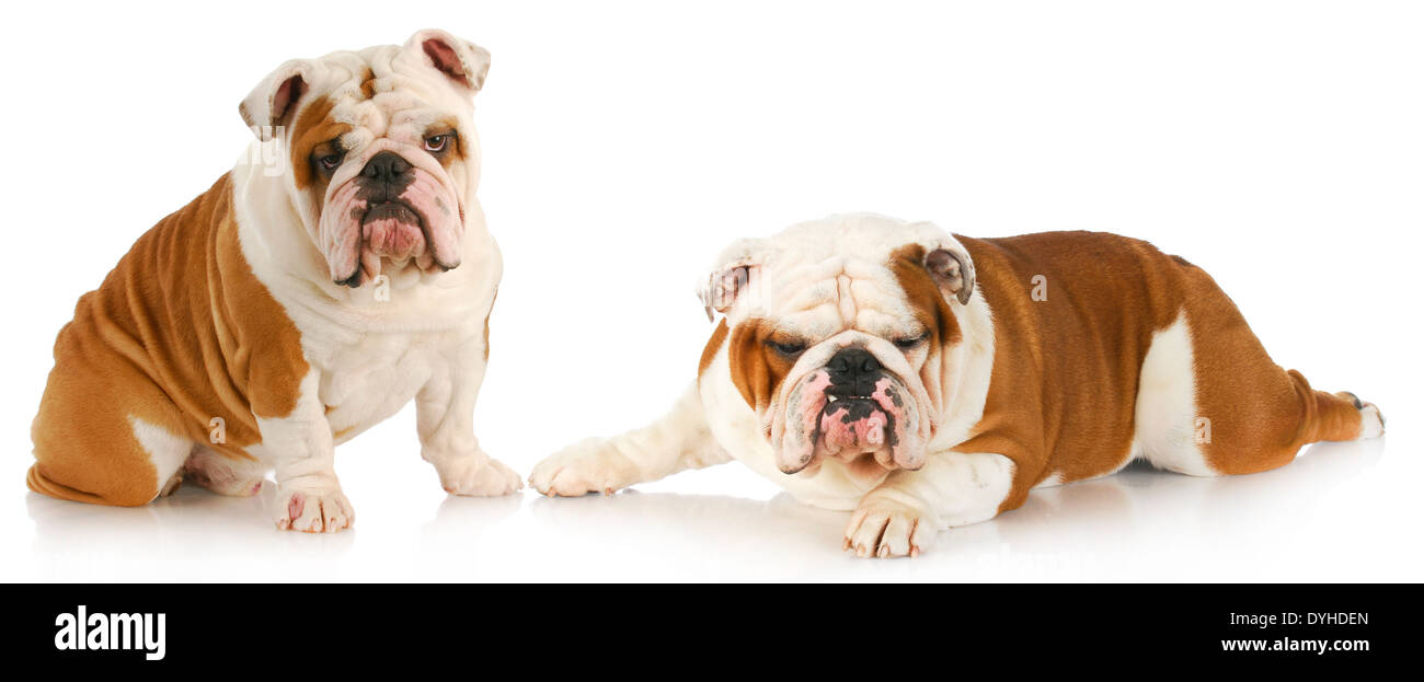 dog fight - two english bulldogs with funny expressions on white background - Stock Image