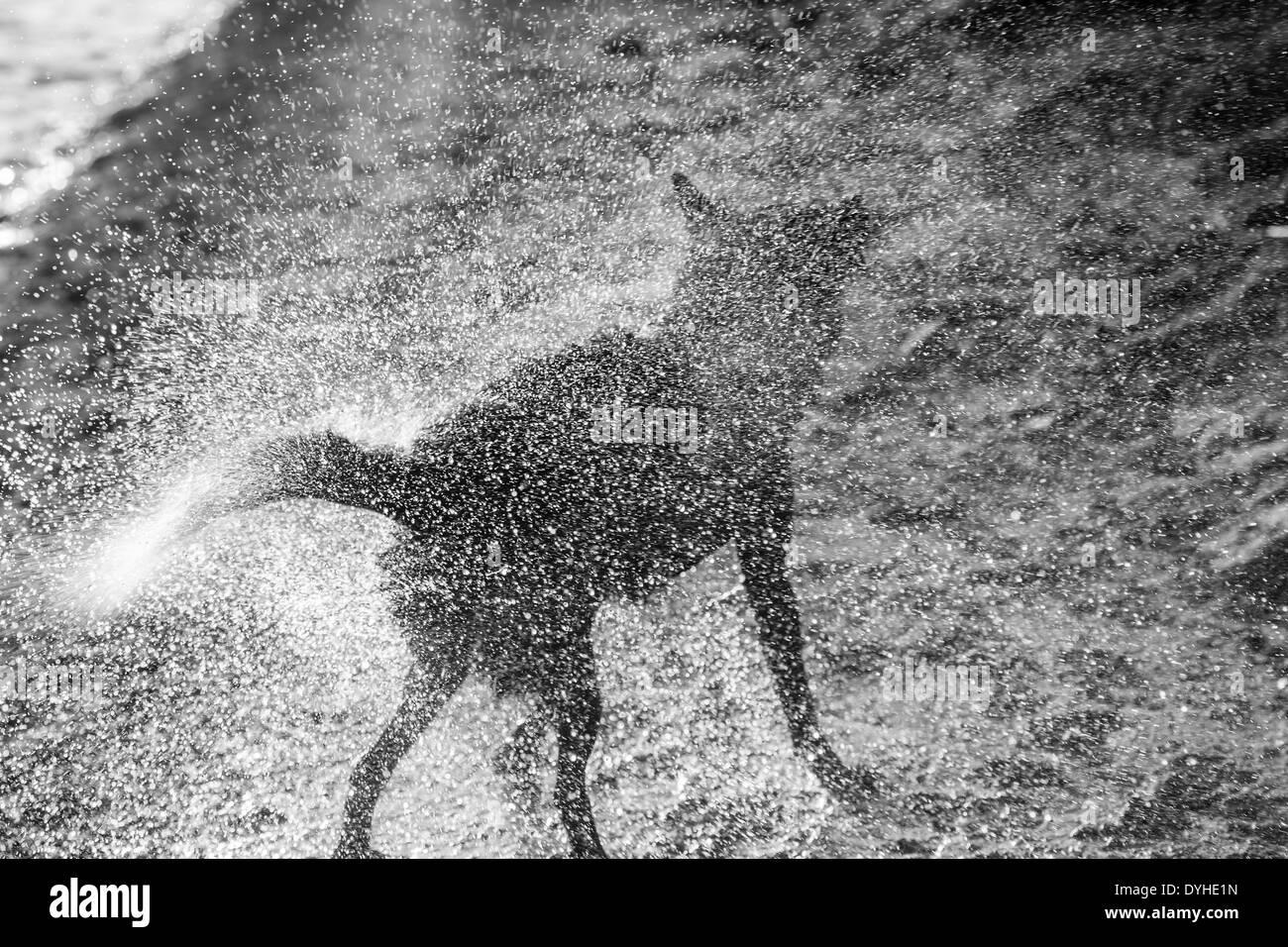 Dog shaking itself dry Stock Photo