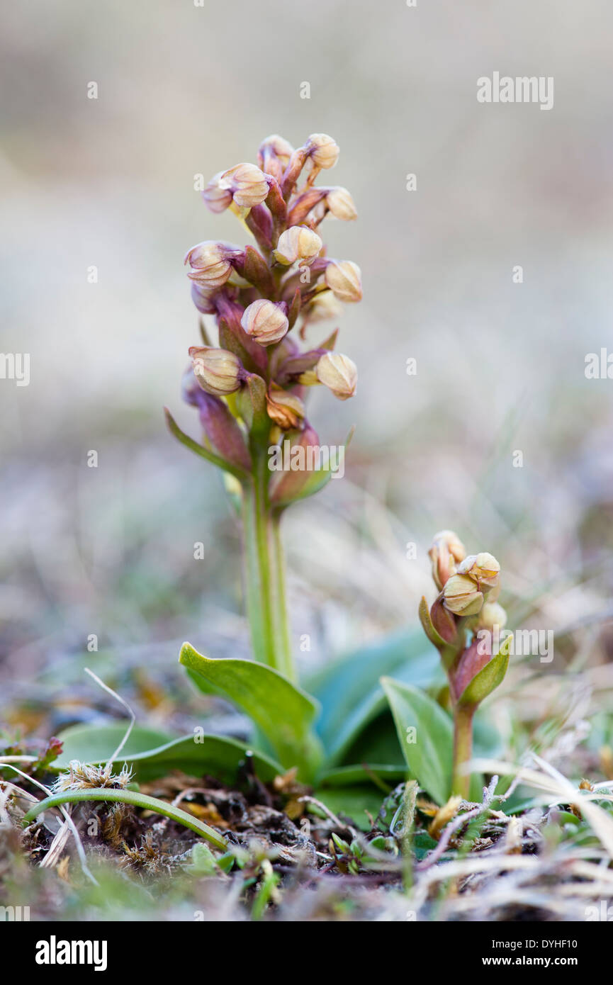 Frog Orchid - Keen of Hamar NNR, Unst, Shetland Isles, Scotland, UK - Stock Image