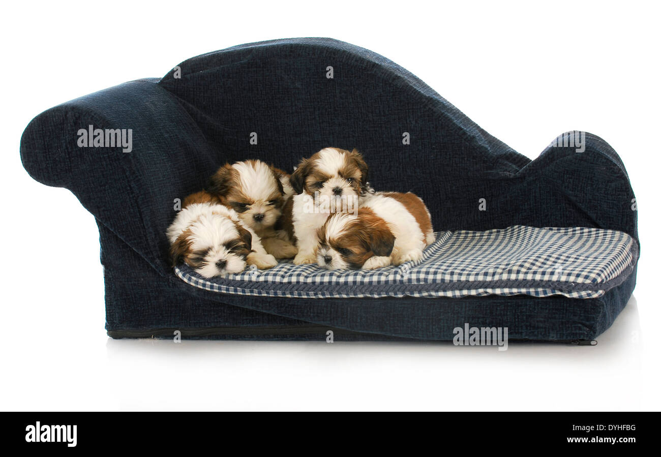 Litter Of Puppies Shih Tzu Puppy Laying On Blue Dog Couch Stock Photo Alamy