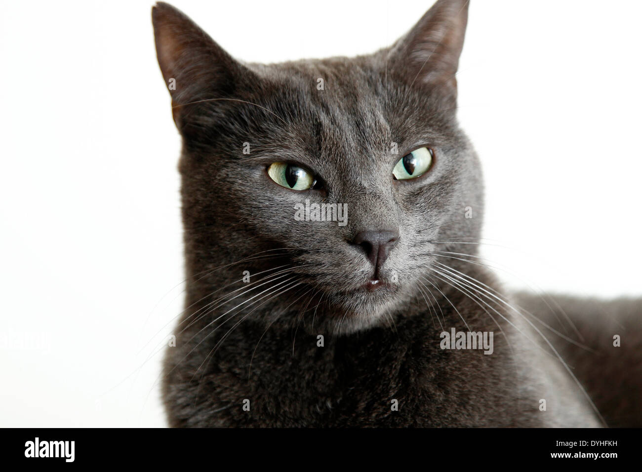 A gray cat with white background - Stock Image