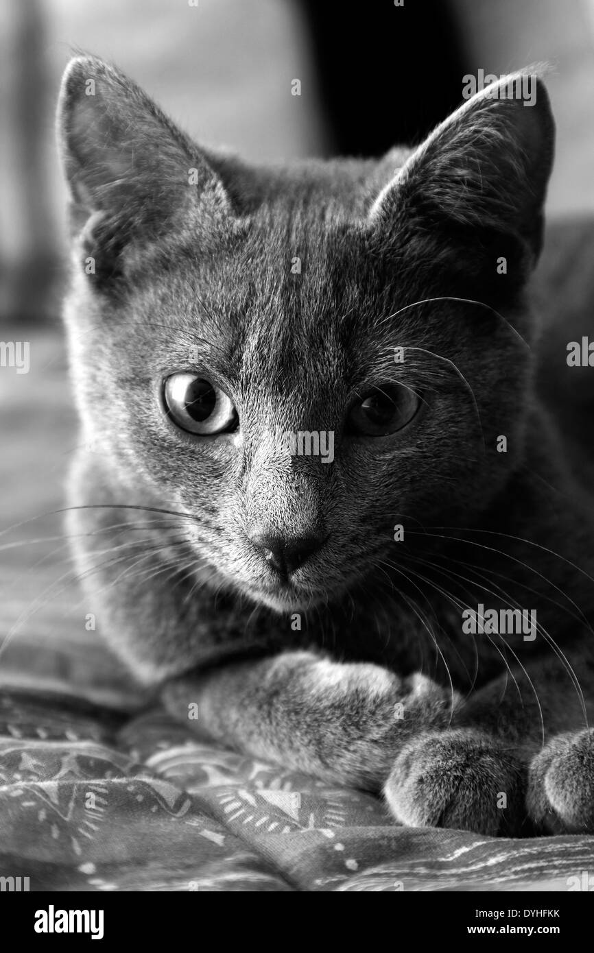 A gray cat lied down on a bed - Stock Image
