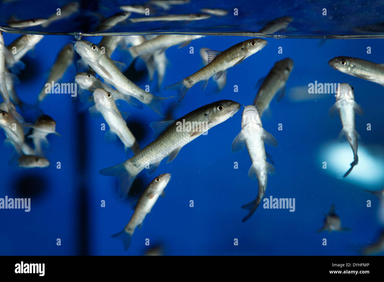 Fish tank for fish pedicure - Stock Image
