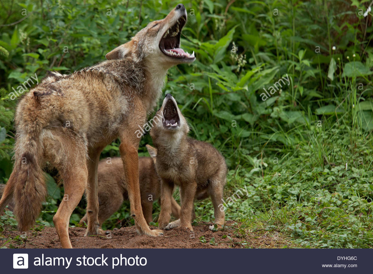 Mother Coyote and Pups howling at den ( Captive Animal ) - Stock Image