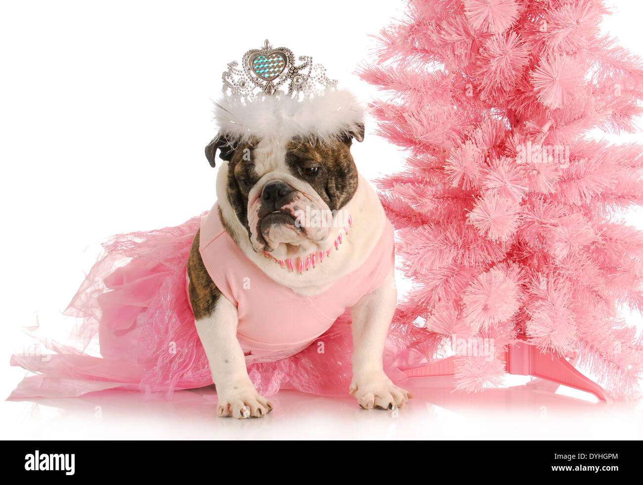spoiled dog - english bulldog dressed like a princess in pink with tiara on white background - Stock Image