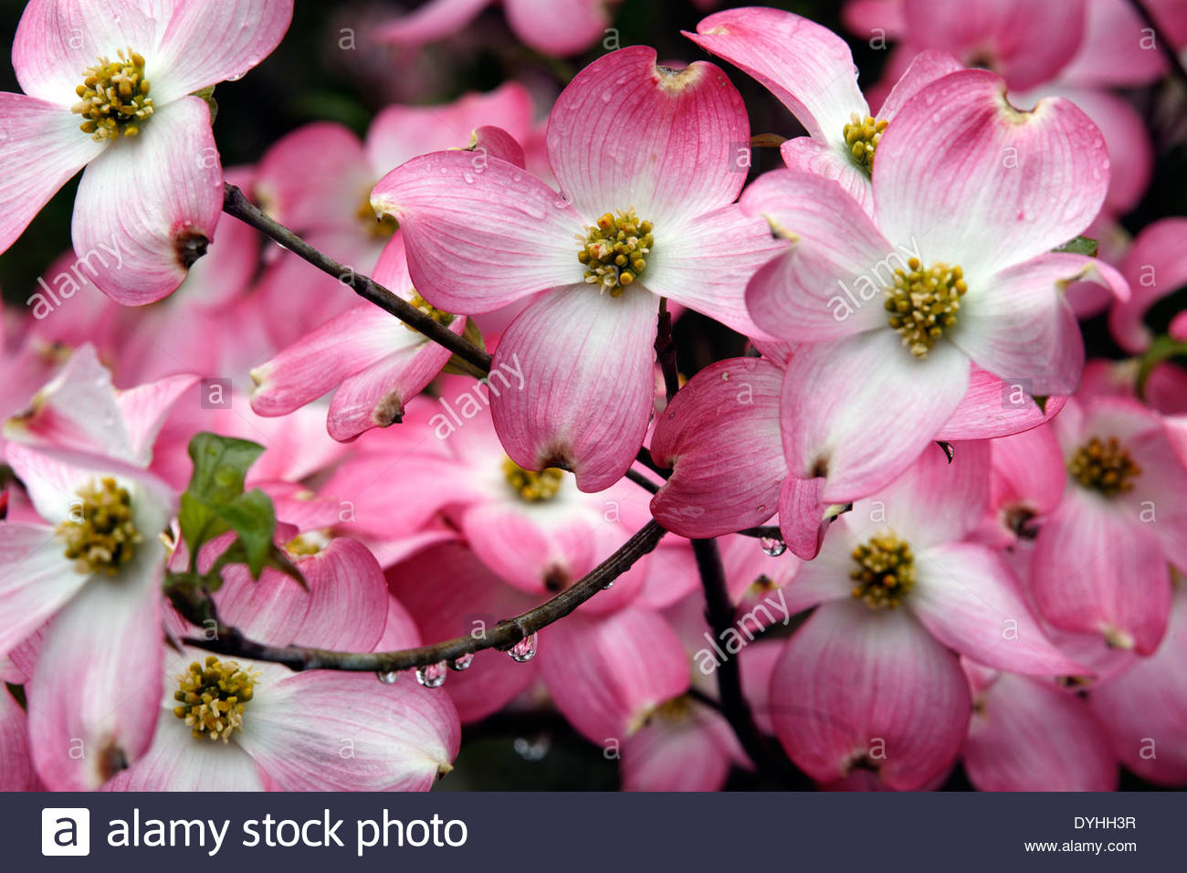 Pink Dogwood Flowers Stock Photos Pink Dogwood Flowers Stock
