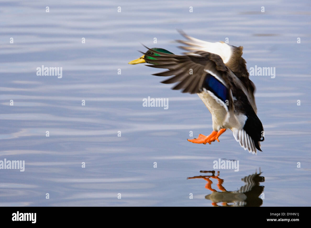 Male Mallard Duck Landing on Water after Flight in Southern Indiana - Stock Image