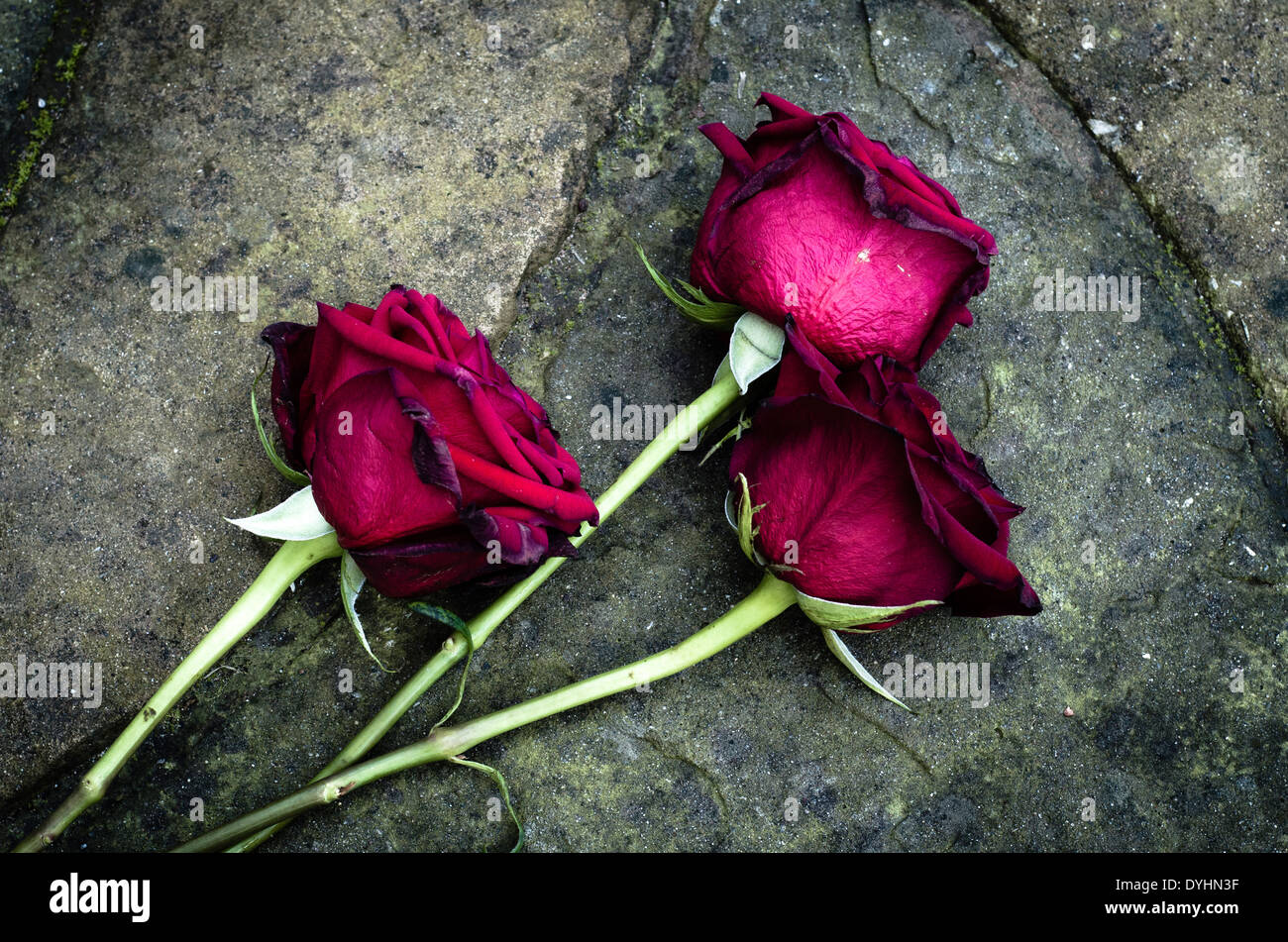 Dying Roses dropped on the floor. - Stock Image