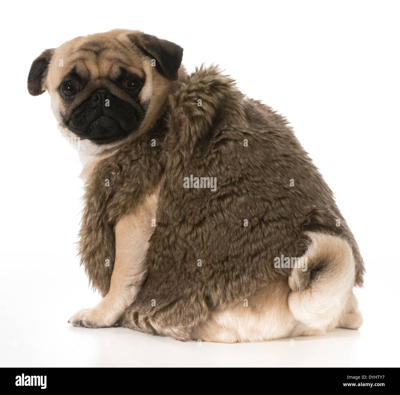efc4f796 pug wearing fur coat looking over shoulder isolated on white background -  Stock Image