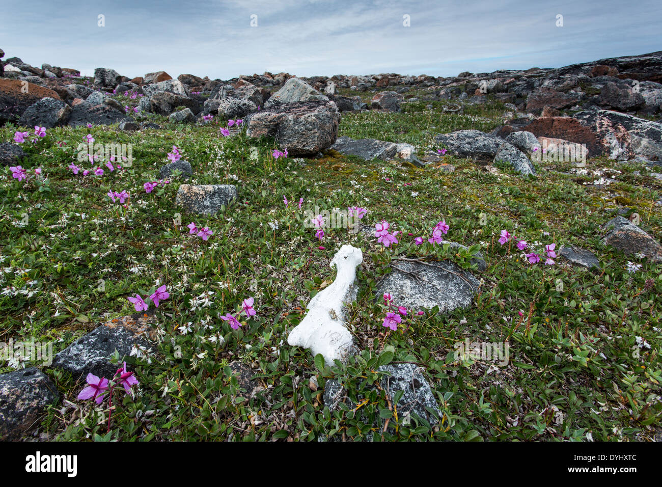 Canada Nunavut Territory Repulse Bay Caribou bone left by Inuit hunters on tundra among fireweed blossoms on island along - Stock Image