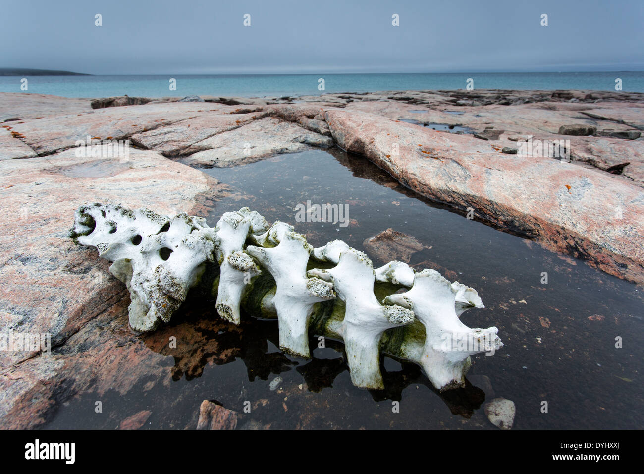 Canada Nunavut Territory Vansittart Island Bones from slaughtered Beluga Whale left by Inuit hunters along Hudson Bay near - Stock Image