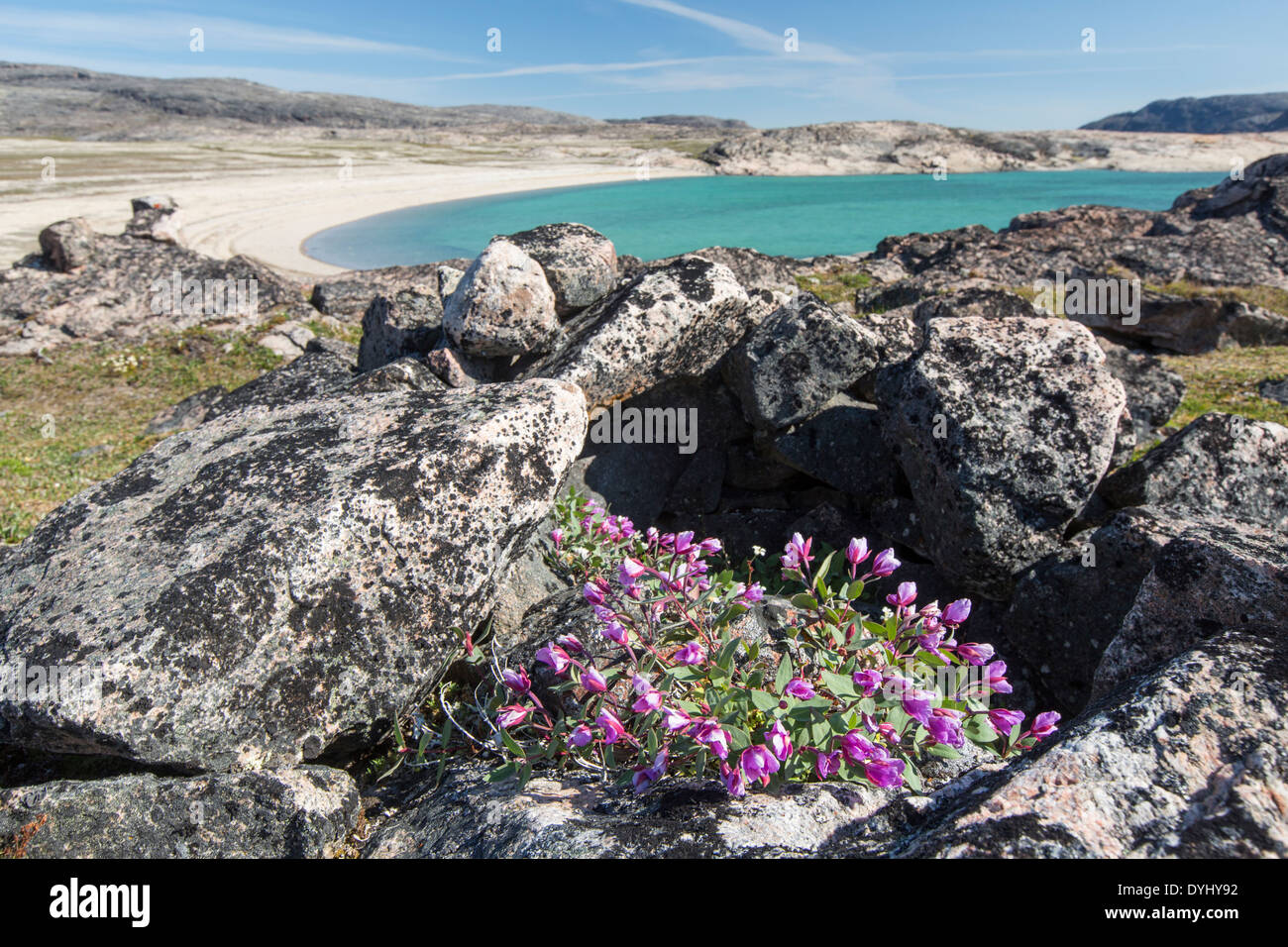 Canada Nunavut Territory Dwarf fireweed blossoms beside stones from Inuit tent ring on arctic tundra at south end of White - Stock Image