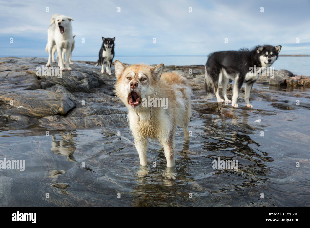Canada, Nunavut Territory, Repulse Bay, Sled dogs standing along shore on Harbour Islands beach - Stock Image