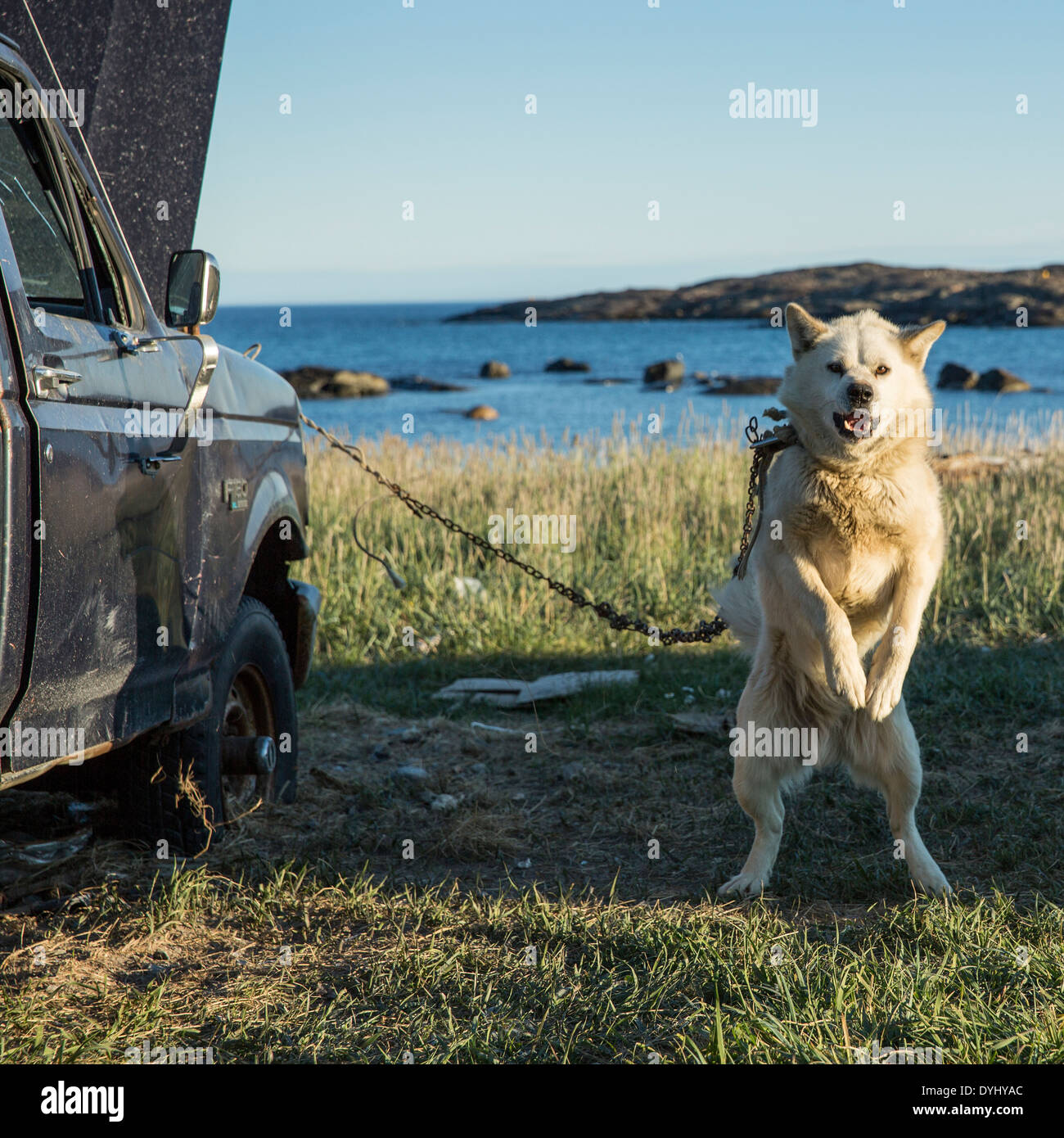Canada Nunavut Territory Whale Cove Sled dog barks while chained to battered pickup truck in Inuit hunting village along Hudson - Stock Image