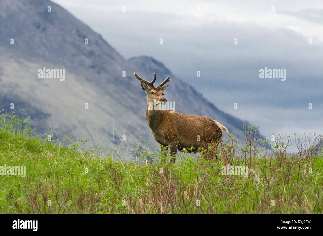 encounter with young buck in glen etive - Stock Image