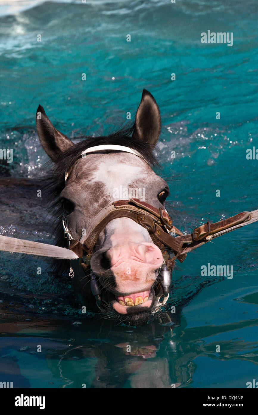 Middleham, Yorkshire, UK. 18th April 2014.  'Special Fighter', 3 year old colt,  (Mark Johnston Racing) at the North Dales Stables Open day.Thoroughbred racehorse in the swim, with lead rein exercising in the swimming pool at the the Middleham Stables Open Day - Stock Image