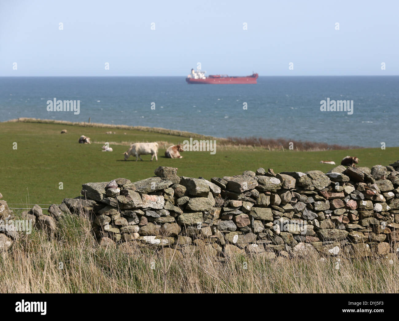 cattle in fields near the coastal Path at Cove Bay, Aberdeen city, Scotland, UK, with the North Sea in the background - Stock Image