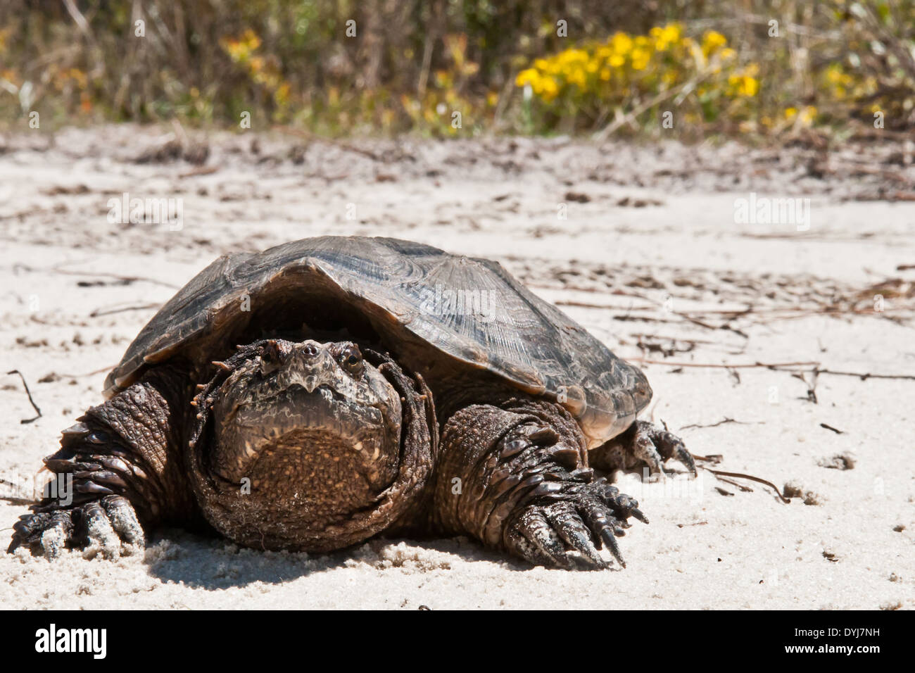 Common Snapping Turtle - Stock Image