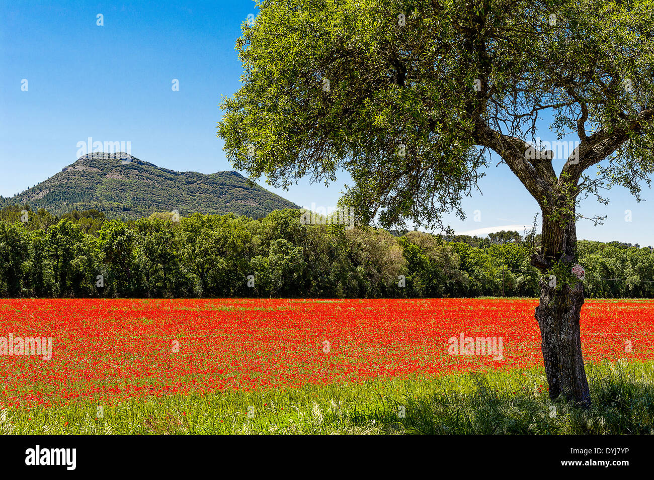 Europe, France, Var, hinterland. Poppies field. - Stock Image