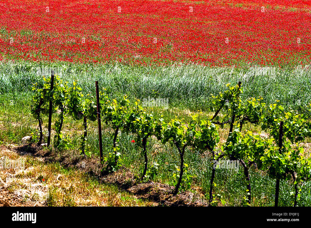 Europe, France, Var. Poppies and Vineyard in the Var hinterland. - Stock Image
