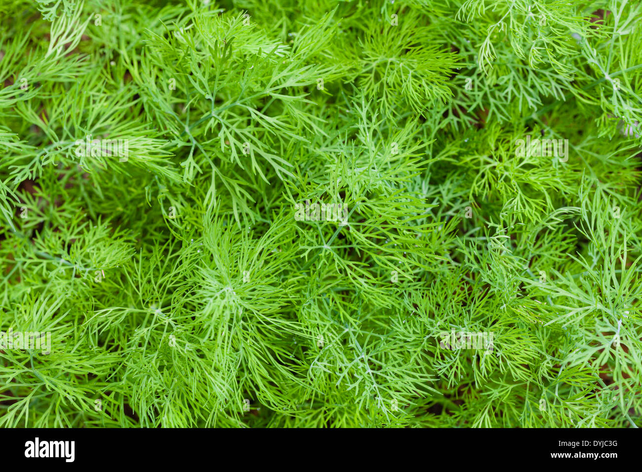Fresh dill leaves - Stock Image