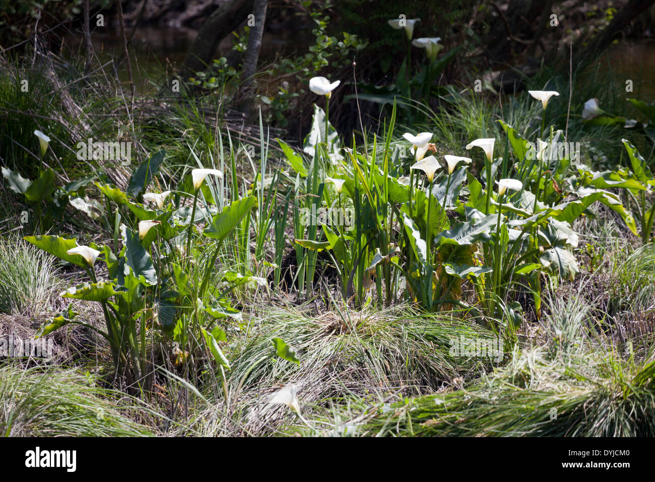 Acclimatized by riparians in the olden days, Arums thrive in April along the banks of 'Courant d'Huchet' (Landes - France). - Stock Image