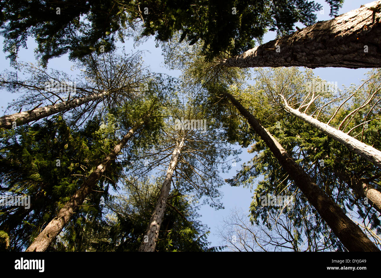 An upwards view of trees in a forest. - Stock Image