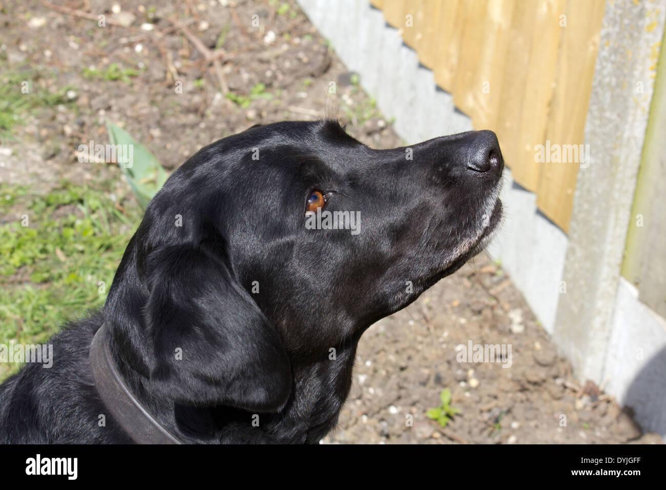 Glossy healthy female black Labrador - Stock Image
