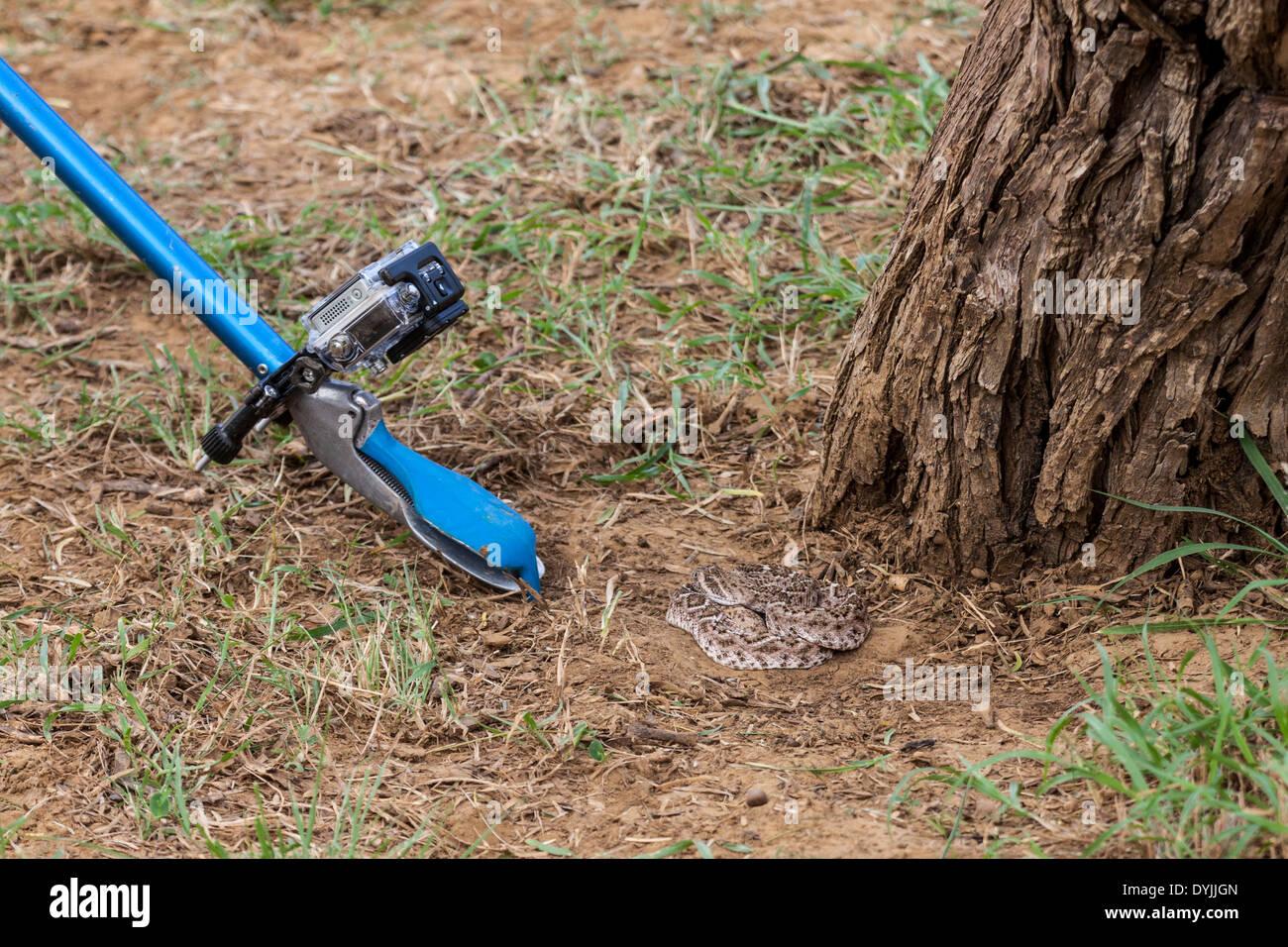 Snake tongs for handling Rattlesnake - Stock Image