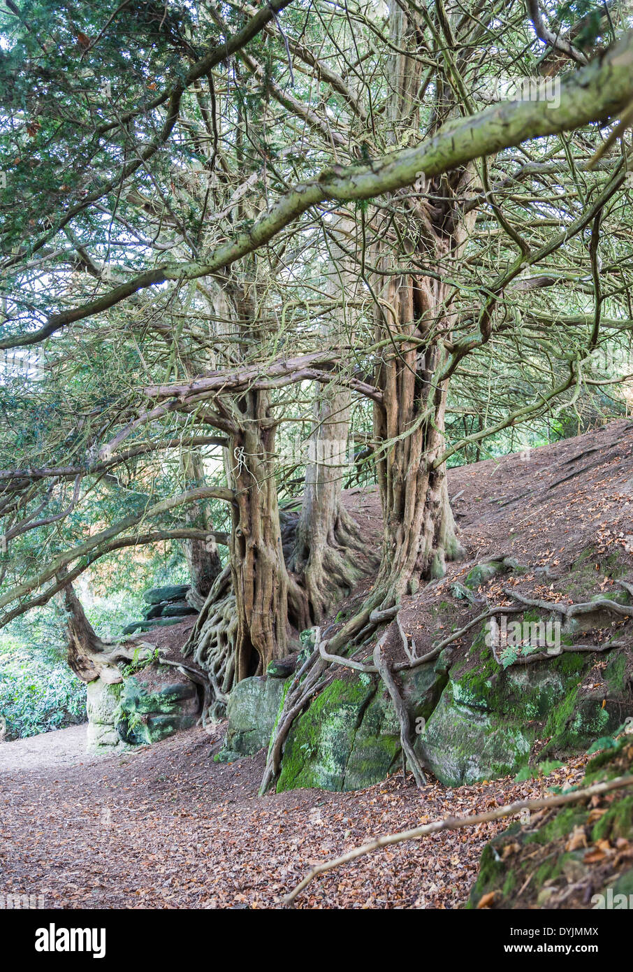 Old gnarled yew tree (Taxus baccata ) roots in grounds of Wakehurst Place, East Sussex, UK - Stock Image