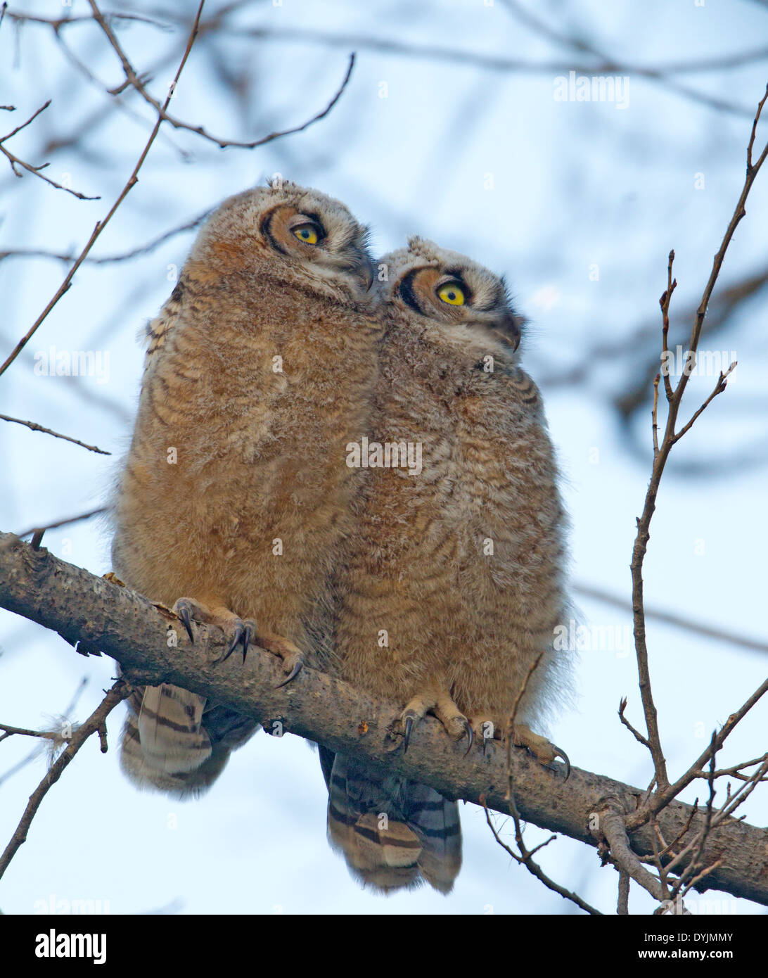 Two Great Horned Owl Owlet Fledglings - Stock Image
