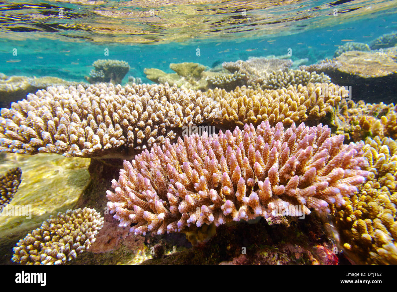 Shallow coral reef, Maldives, Indian Ocean - Stock Image