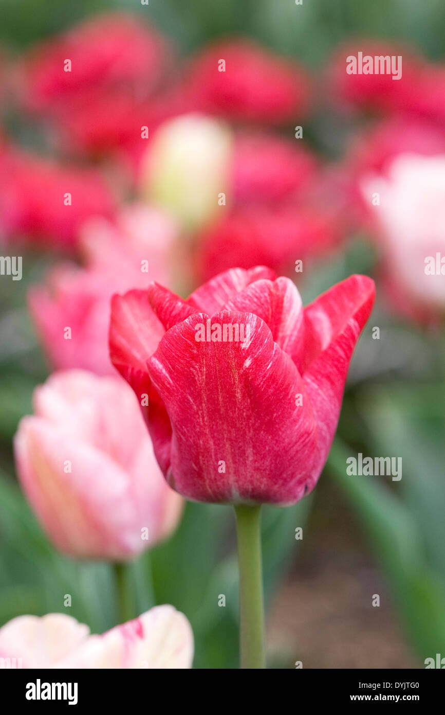 Tulipa 'Hemisphere' in the garden. - Stock Image