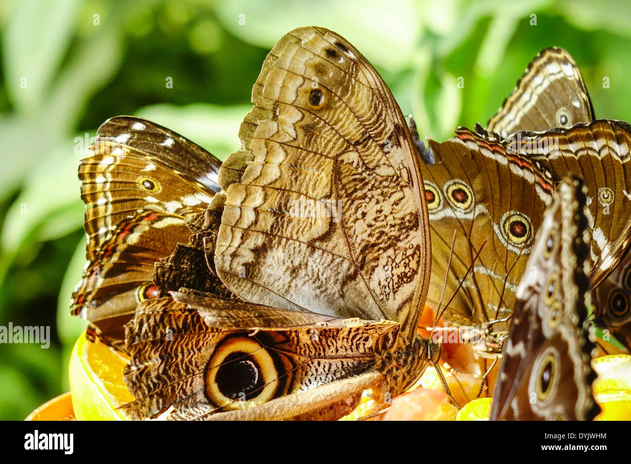Tropische Schmetterlinge, Botanischer Garten München - Stock Image