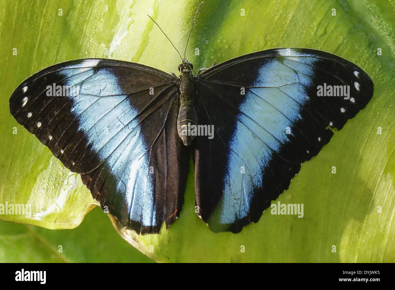 Tropischer Schmetterling, Blauer Morphofalter (Morpho peleides) Stock Photo
