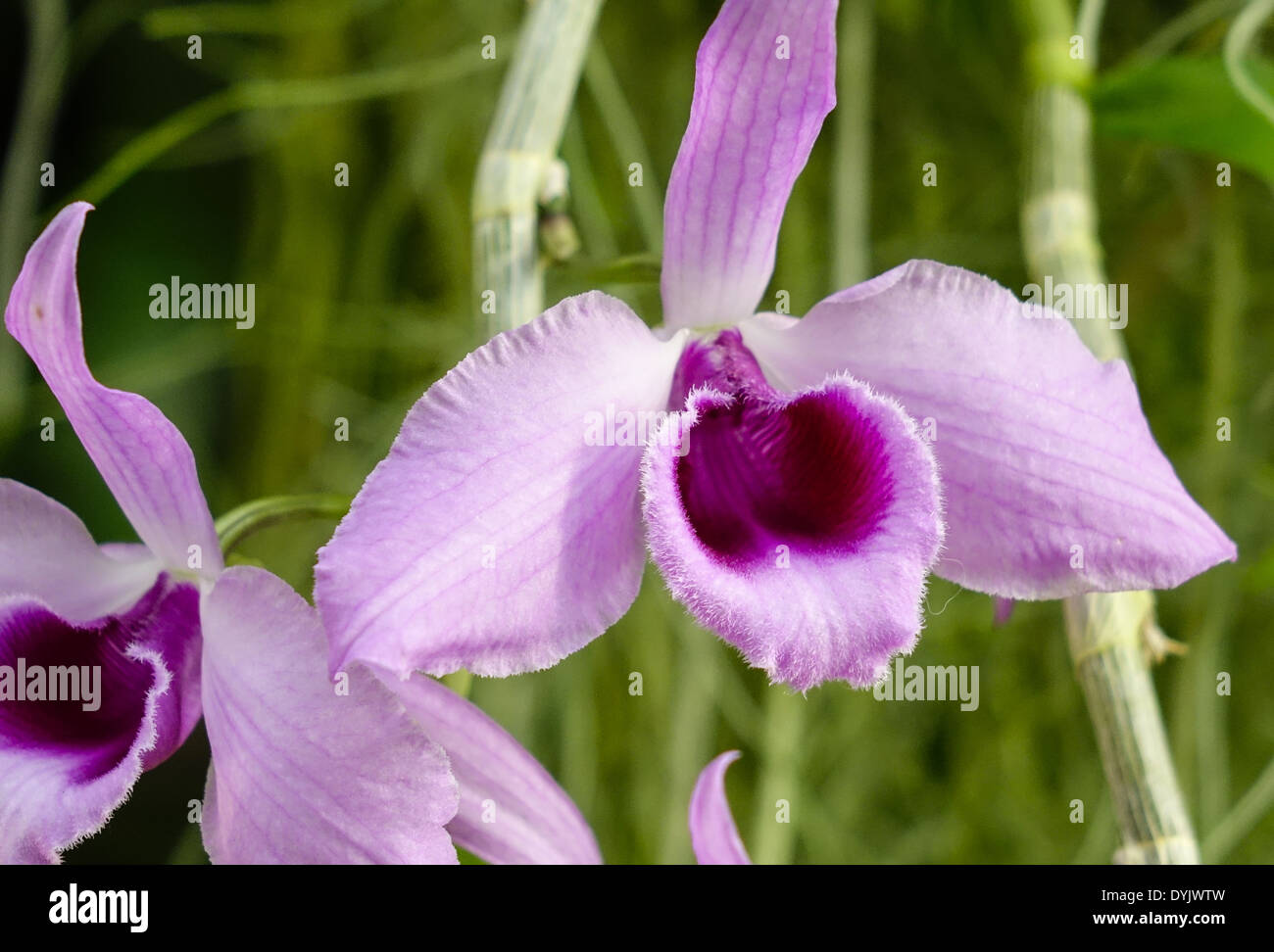 Blühende, Tropische Orchidee (Cattleya) - Stock Image