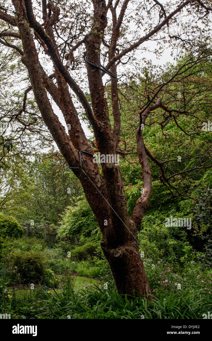 THE ORIGINAL ACER GRISEUM (PAPERBARK MAPLE) COLLECTED BY ERNEST WILSON AND PLANTED AT HIGHDOWN GARDENS SUSSEX - Stock Image