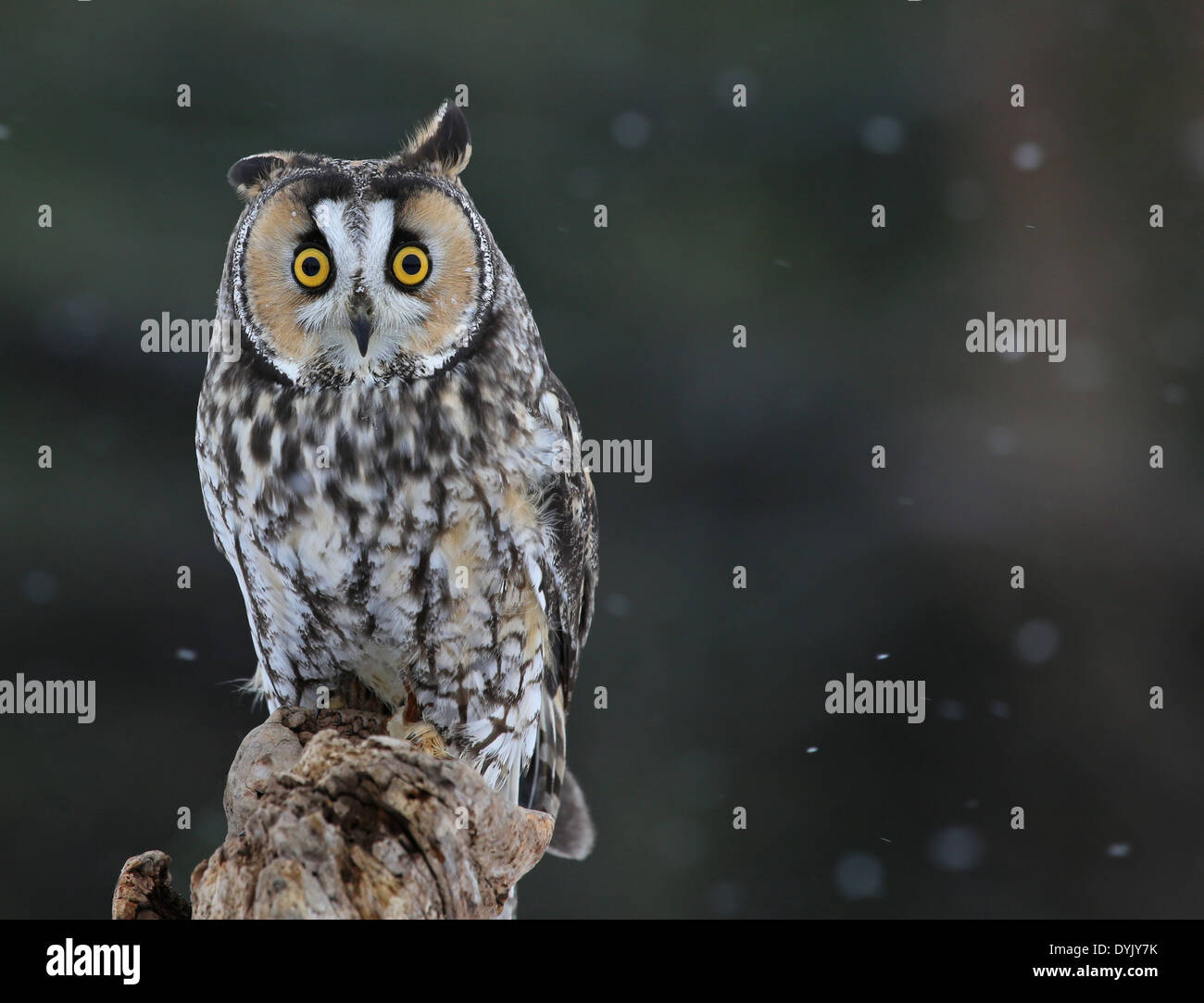 Posing Long-eared Owl Stock Photo