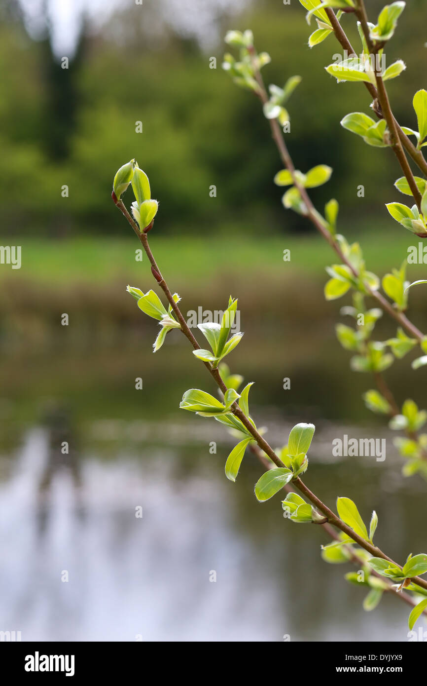 The first spring gentle leaves, buds and branches lake in background - Stock Image