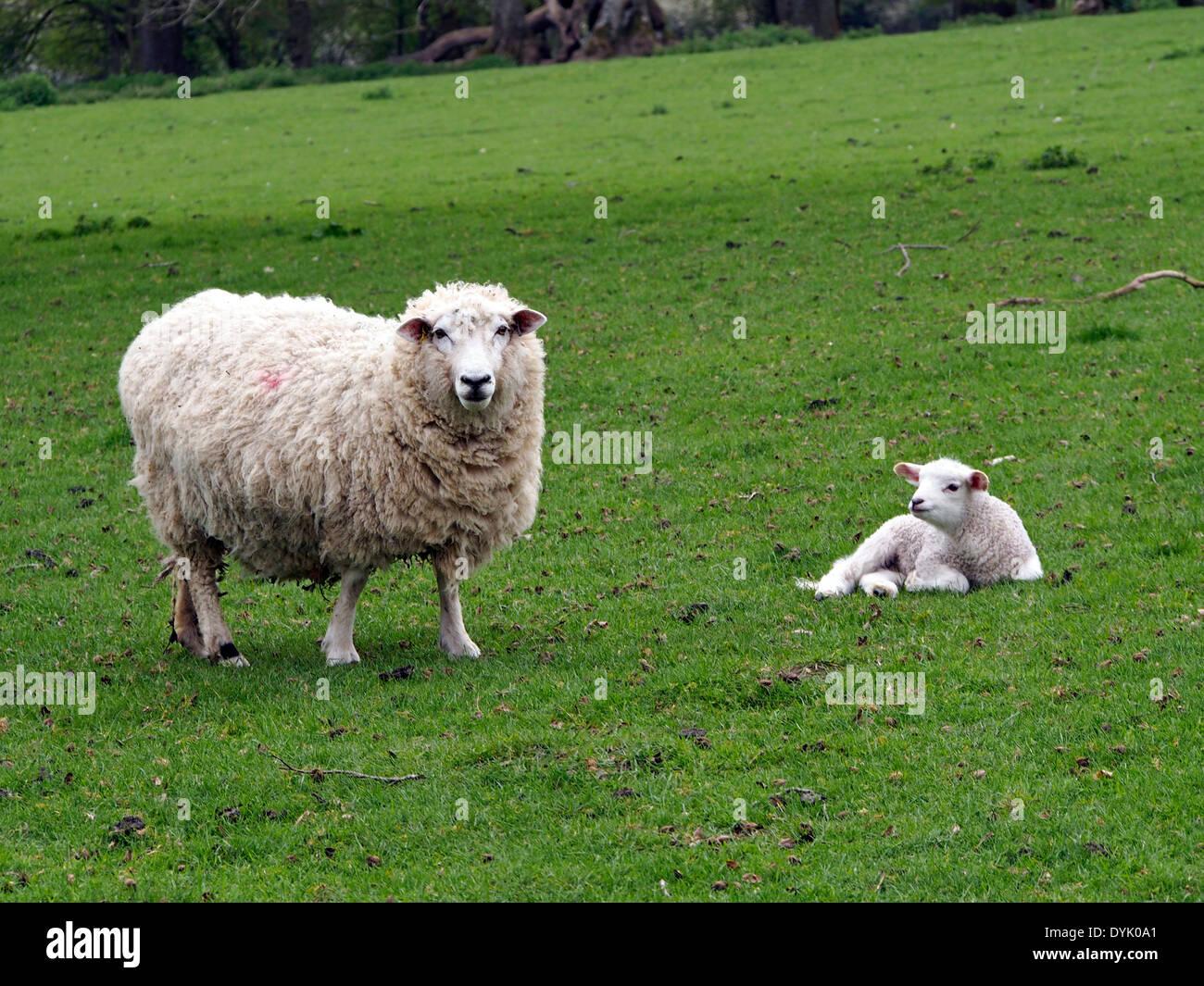 Southdown Sheep Stock Photos & Southdown Sheep Stock ...