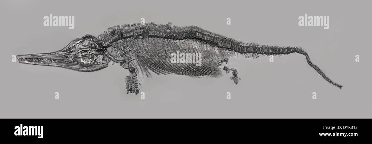 Fossil ichthyosaur fossil skeleton specimen in matrix slab. - Stock Image