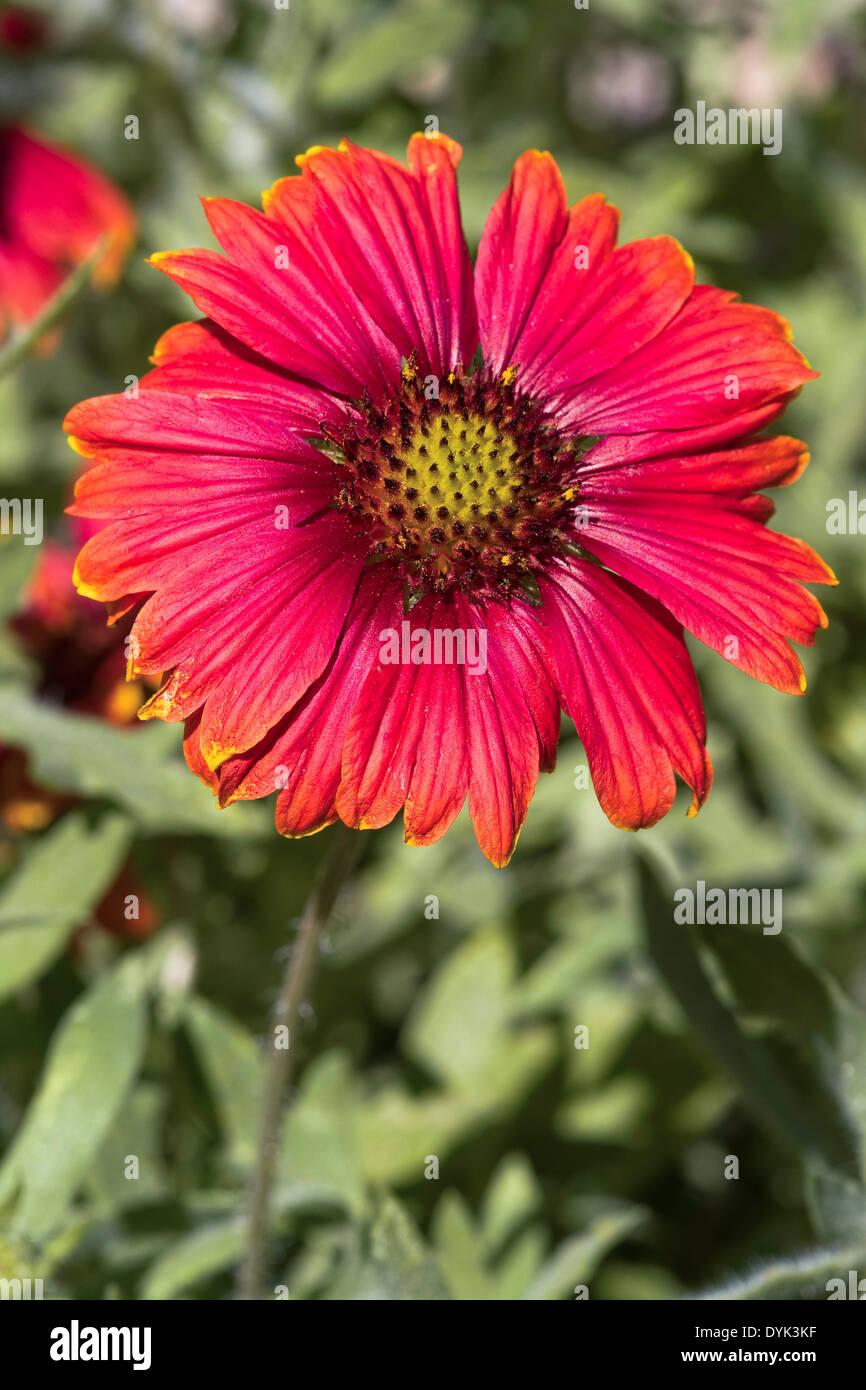 Arizona Red Shades Blanket Flower (Gaillardia grandiflora) - Stock Image