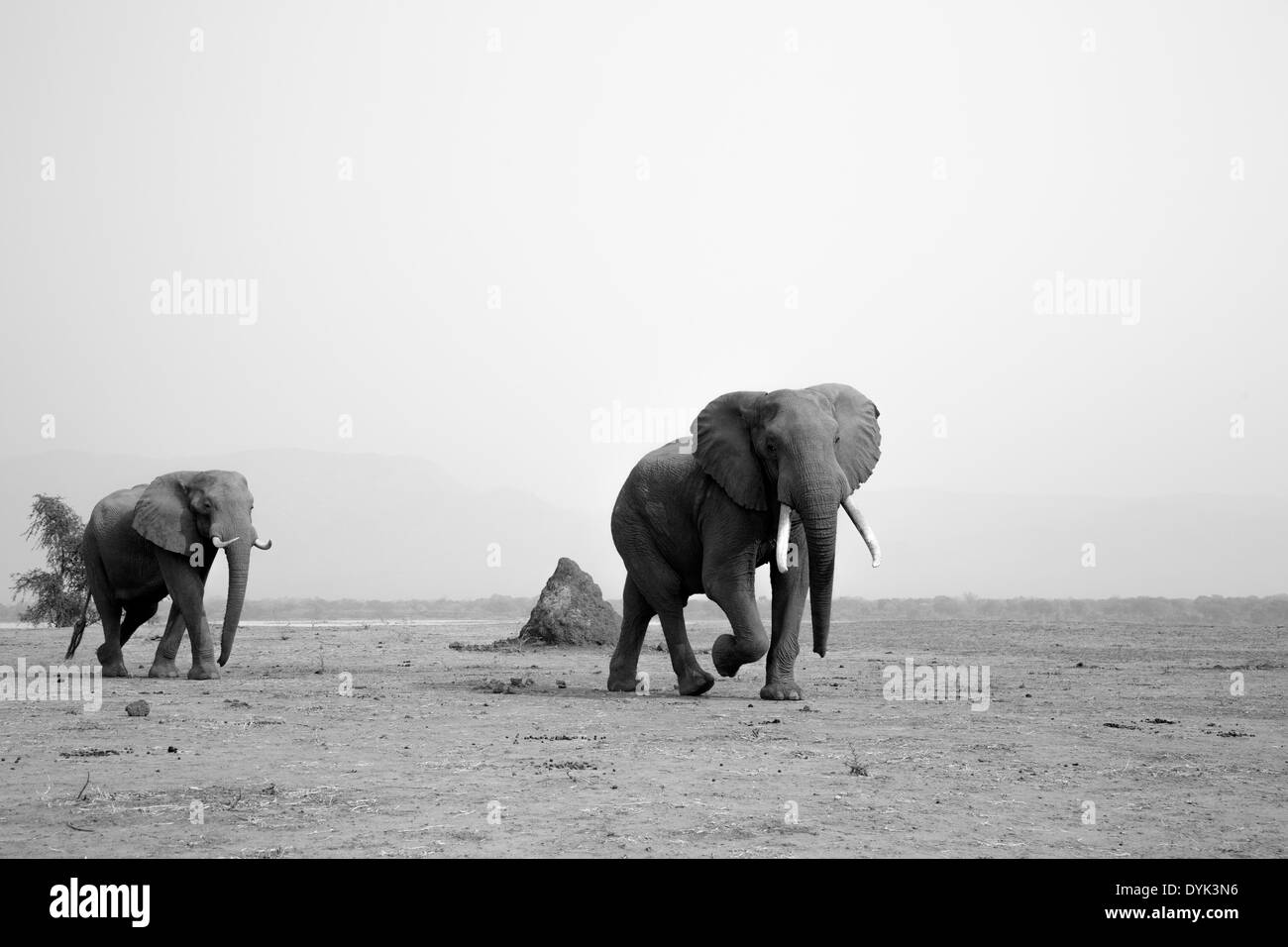 African Elephant bulls walking on dry plain - Stock Image