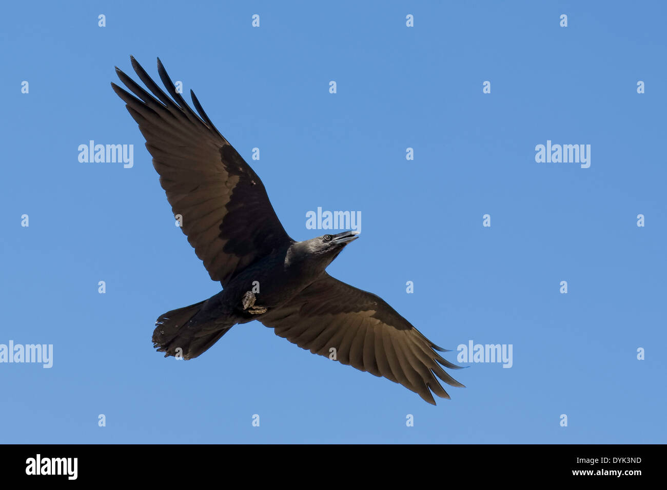 Chihuahuan Raven (Corvus cryptoleucus) - Stock Image